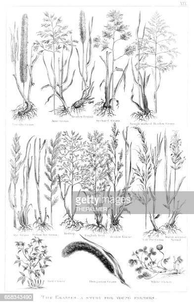types of grass engraving 1873 - reed grass family stock illustrations