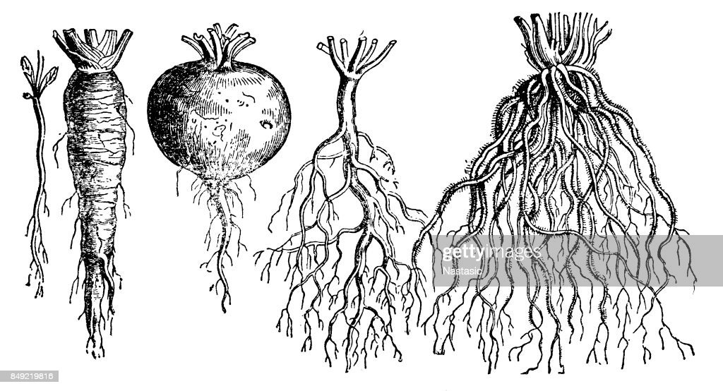 Types of roots : stock illustration