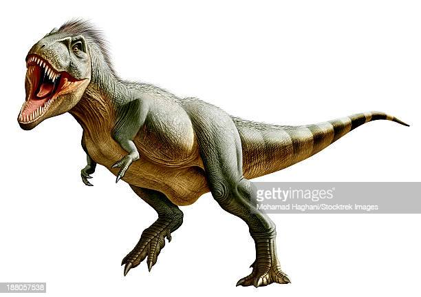 Tyrannosaurus Rex, a genus of coelurosaurian theropod dinosaur of the Upper Cretaceous period.