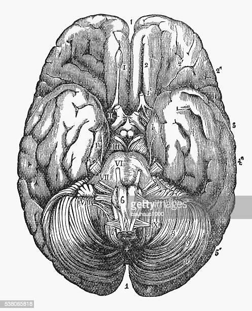 under surface of the human brain engraved illustration, circa1880 - neuroscience stock illustrations