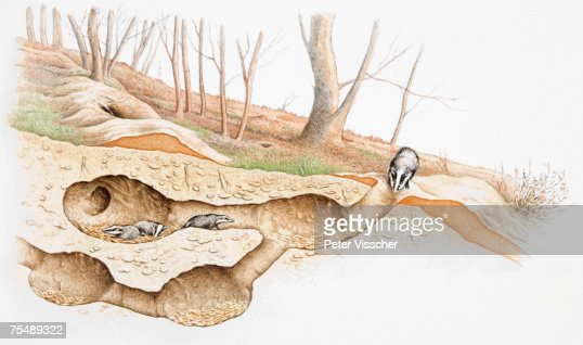 Underground Crosssection View Of Badgers Moving Within