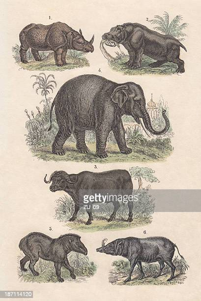 mammals, hand-colored lithograph, published in 1880 - asian elephant stock illustrations