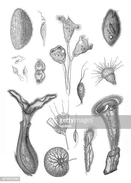 Unicellular eukaryotic organisms