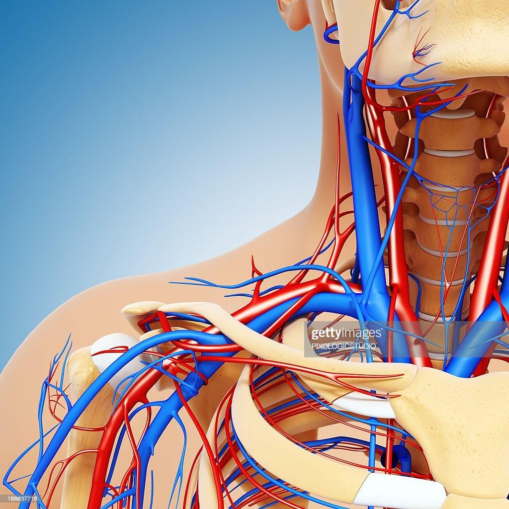 Upper Body Anatomy Artwork Stock Illustration Getty Images