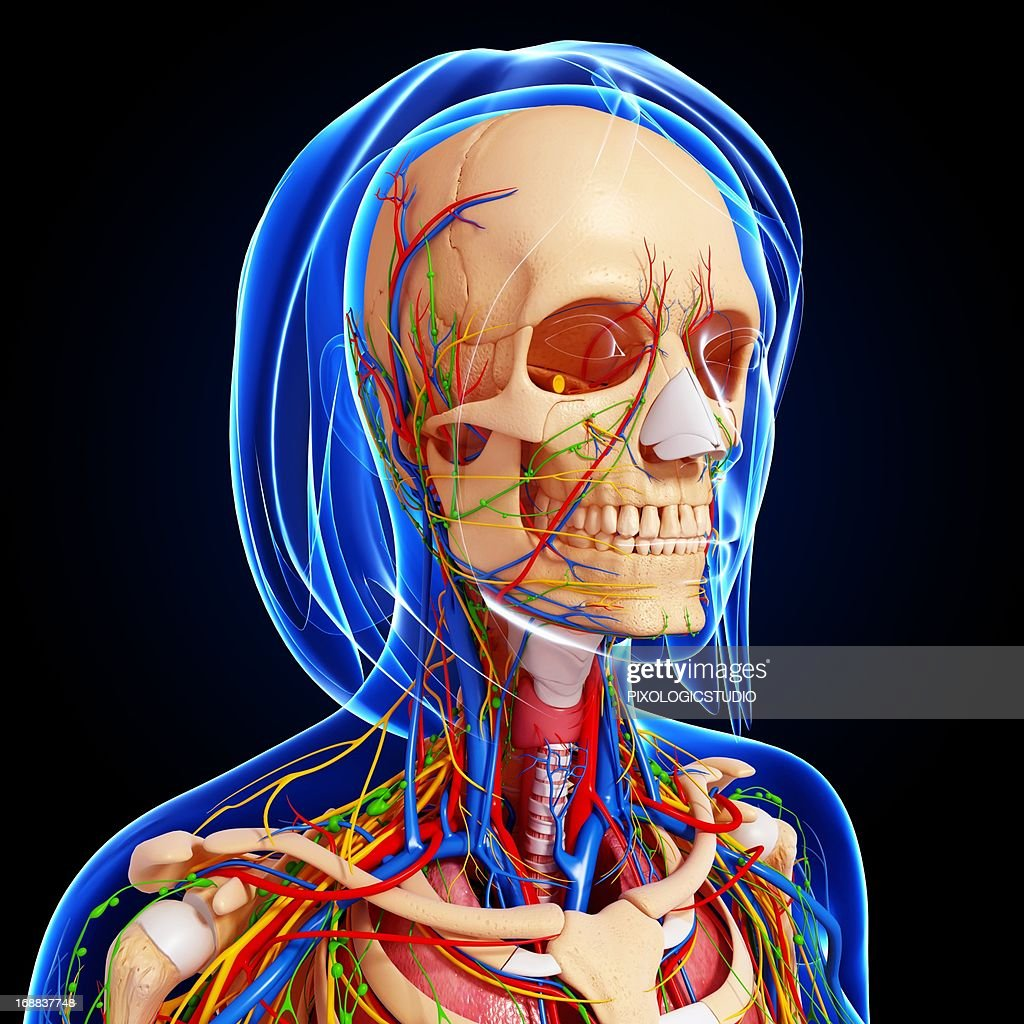 Upper Body Anatomy Artwork Stock Illustration | Getty Images
