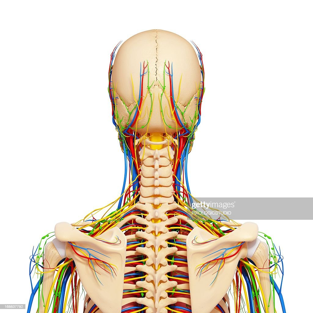 Upper Body Anatomy Artwork Stock Illustration Getty Images