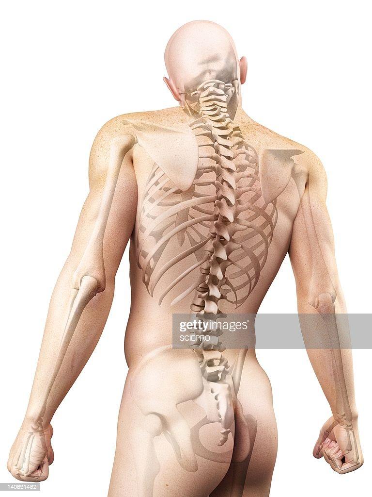Upper Body Bones Artwork Stock Illustration Getty Images