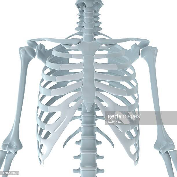 upper body bones, artwork - female likeness stock illustrations
