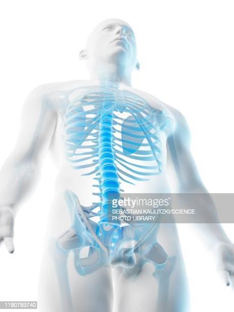 upper body bones, illustration - stomach stock illustrations