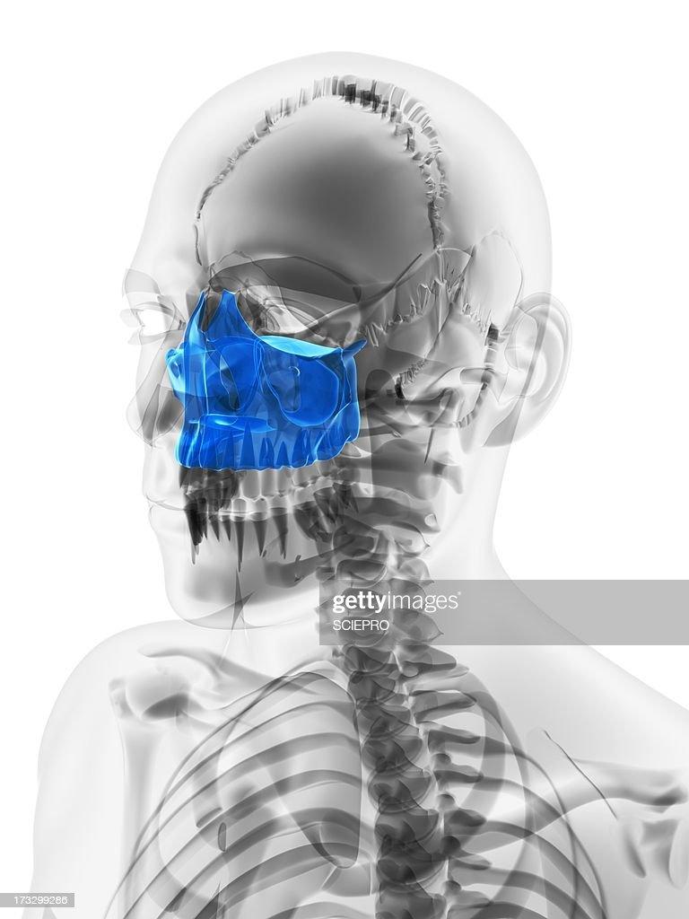 Upper Jaw Bone Artwork Stock Illustration   Getty Images
