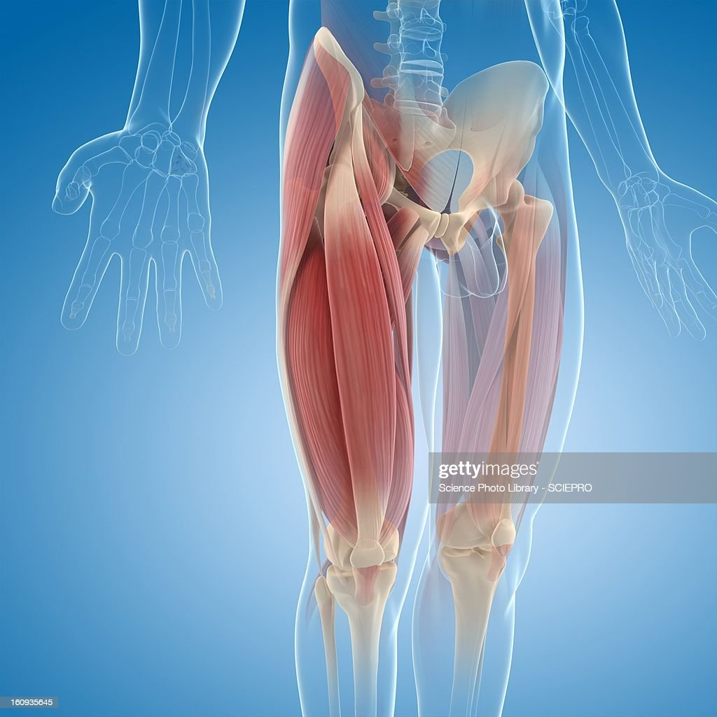 Upper leg muscles, artwork : stock illustration