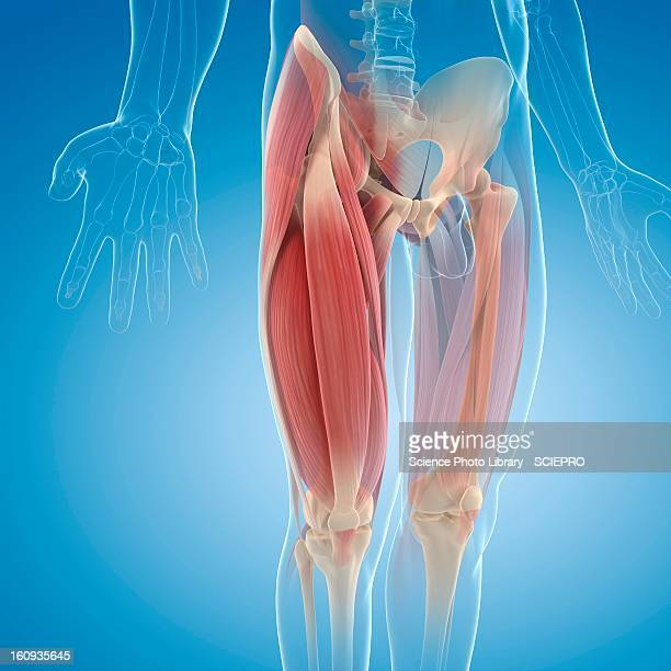 upper leg muscles, artwork - muskel stock-grafiken, -clipart, -cartoons und -symbole