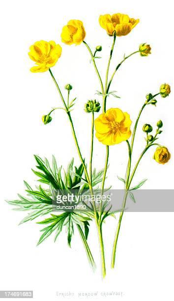 upright meadow crowfoot - ranunculus acris - buttercup stock illustrations, clip art, cartoons, & icons