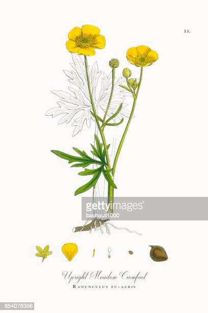 upright meadow crowfoot, ranunculus eu-acris, victorian botanical illustration, 1863 - buttercup stock illustrations, clip art, cartoons, & icons