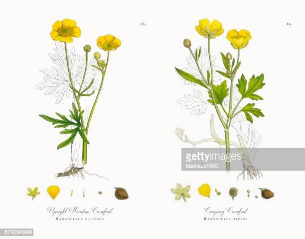 Verticale Meadow Crowfoot, Ranunculus UE-acris, Illustration botanique victorienne, 1863