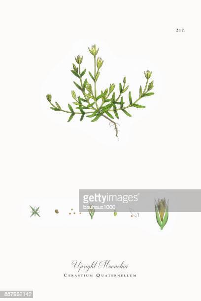 ilustrações, clipart, desenhos animados e ícones de moenchia vertical, cerastium quaternellum, ilustração botânica vitoriana, 1863 - chickweed
