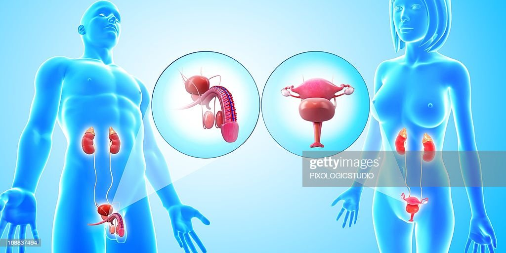 Urinary and reproductive systems, artwork : stock illustration