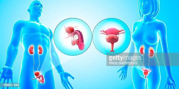 ilustraciones, imágenes clip art, dibujos animados e iconos de stock de urinary and reproductive systems, artwork - trompas de falopio