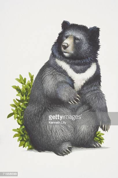 Ursus thibetanus, Asiatic Black Bear sitting on vegetation.