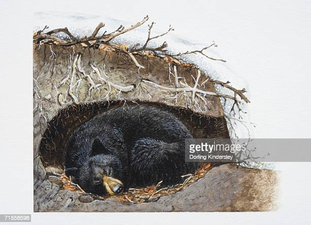 ursus thibetanus, sleeping asiatic black bear curled up in its winter den. - hibernation stock illustrations