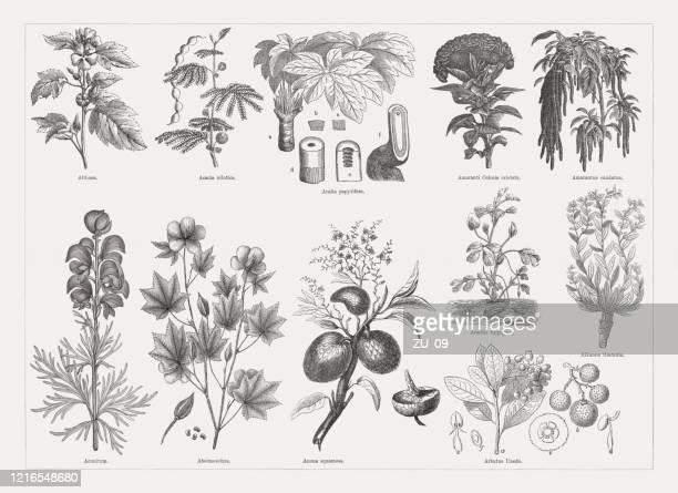 有用で薬用植物、木彫、1893年に出版 - アカシア点のイラスト素材/クリップアート素材/マンガ素材/アイコン素材