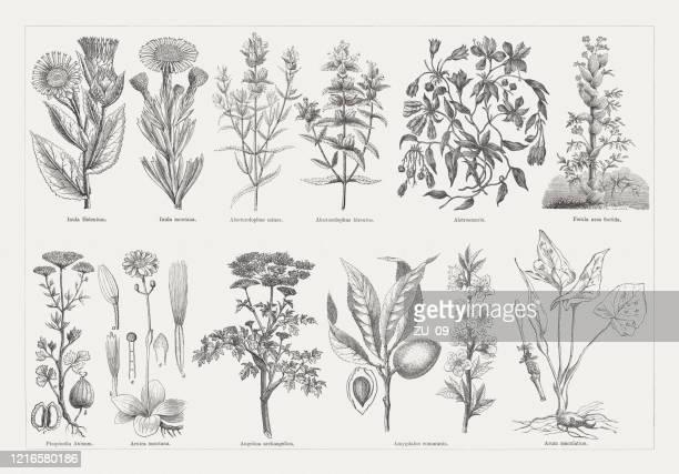 有用で薬用植物、木彫、1893年に出版 - アルニカ点のイラスト素材/クリップアート素材/マンガ素材/アイコン素材