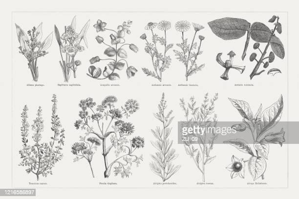 有用で薬用植物、木彫、1893年に出版 - カモミール点のイラスト素材/クリップアート素材/マンガ素材/アイコン素材