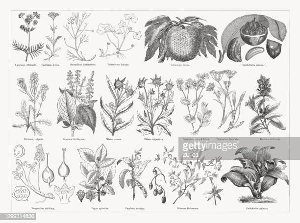 useful and medicinal plants, wood engravings, published in 1893 - valerian plant stock illustrations