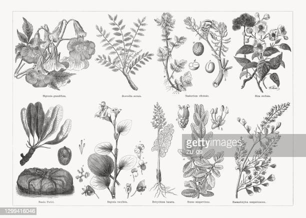useful and medicinal plants, wood engravings, published in 1893 - begonia stock illustrations