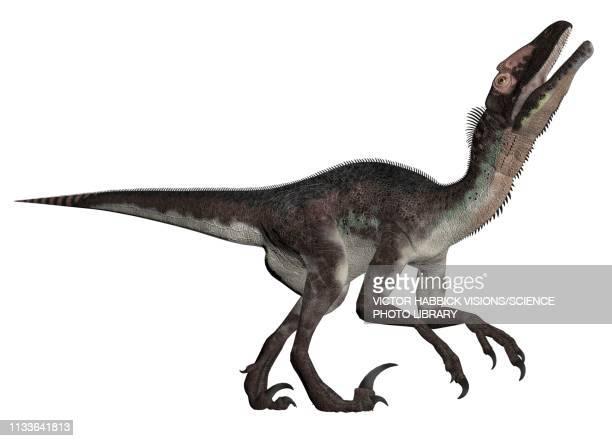 utahraptor - dromaeosauridae stock illustrations