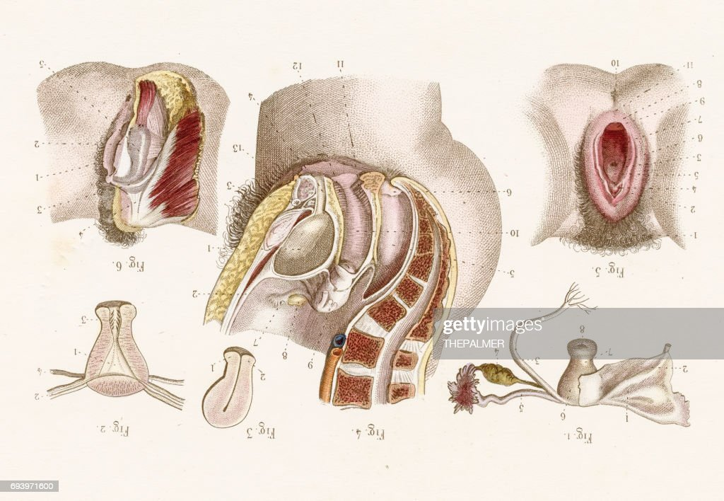 Uterus Anatomy Engraving 1886 Stock Illustration Getty Images