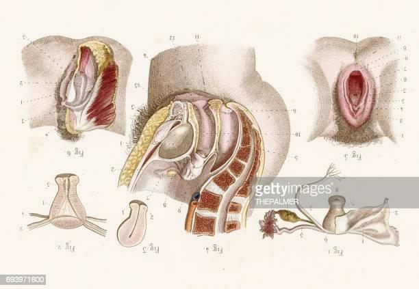 uterus anatomy engraving 1886 - female reproductive system stock illustrations