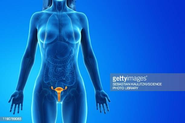 ilustraciones, imágenes clip art, dibujos animados e iconos de stock de uterus, illustration - trompas de falopio