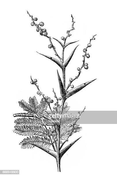 vachellia sphaerocephala (牛の角とげまたは蜂編み) - アカシア点のイラスト素材/クリップアート素材/マンガ素材/アイコン素材