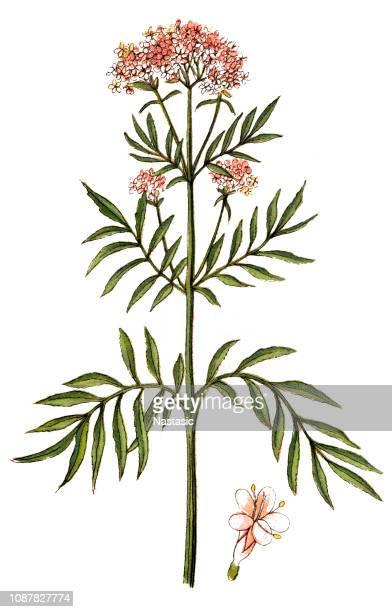 valerian (valeriana officinalis) - valerian plant stock illustrations