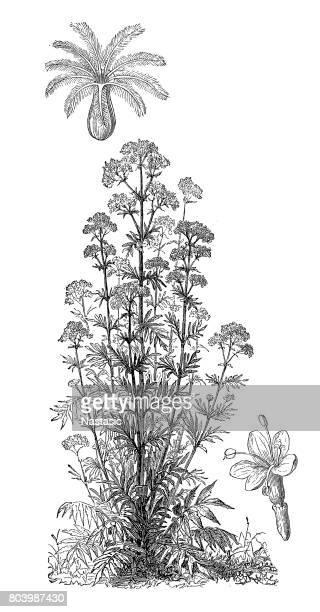 valerian (valeriana officinalis, caprifoliaceae) - arrowwood stock illustrations, clip art, cartoons, & icons