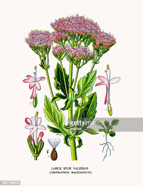 valerian plant - valerian plant stock illustrations