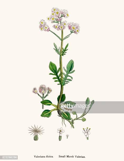 valerian plant scientific illustration - valerian plant stock illustrations