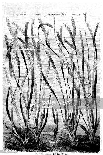 Vallisneria spiralis,straight vallisneria, tape grass, or eel grass