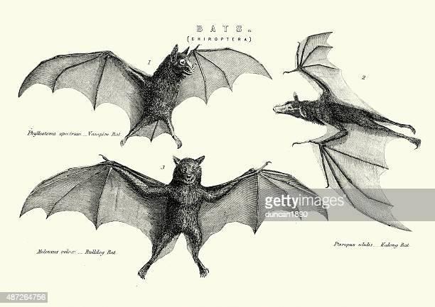 Vampie, Bulldog and Kalong Bats