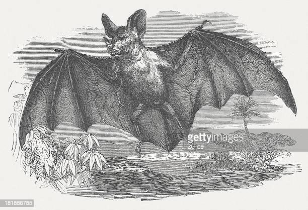 Vampire bat, Desmodus rotundus, wood engraving, published in 1875