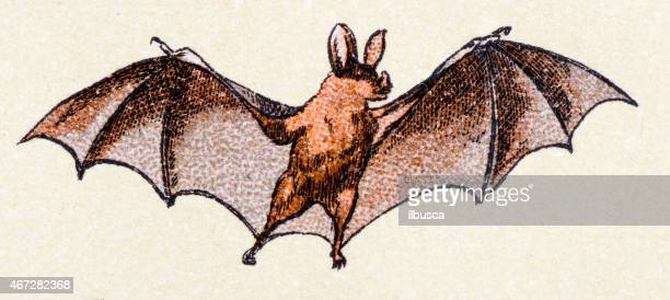 Vampire bat, mammals animals antique illustration