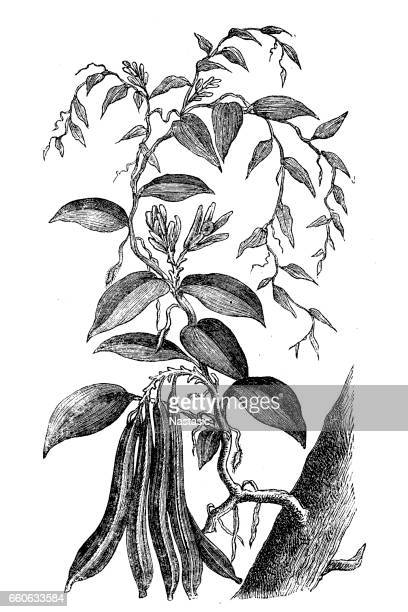 Illustrations et dessins anim s de fleur de vanille getty images - Vanille dessin ...