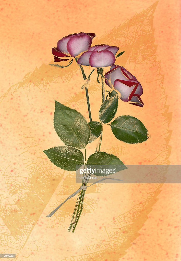 Variegated Rose on Leaf Background : Stock Illustration