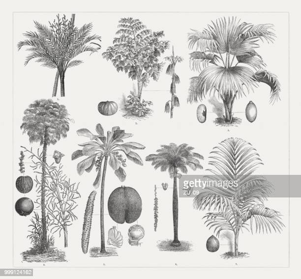 varios palm trees, wood engravings, published around 1895 - coconut leaf stock illustrations, clip art, cartoons, & icons