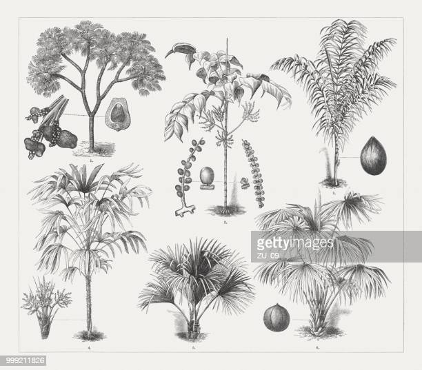 varios palm trees, wood engravings, published around 18 - coconut leaf stock illustrations, clip art, cartoons, & icons