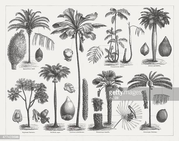 varios palms, wood engravings, published in 1877 - coconut leaf stock illustrations, clip art, cartoons, & icons