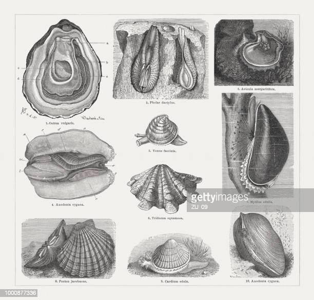 Varios shells, wood engravings, published around 1895