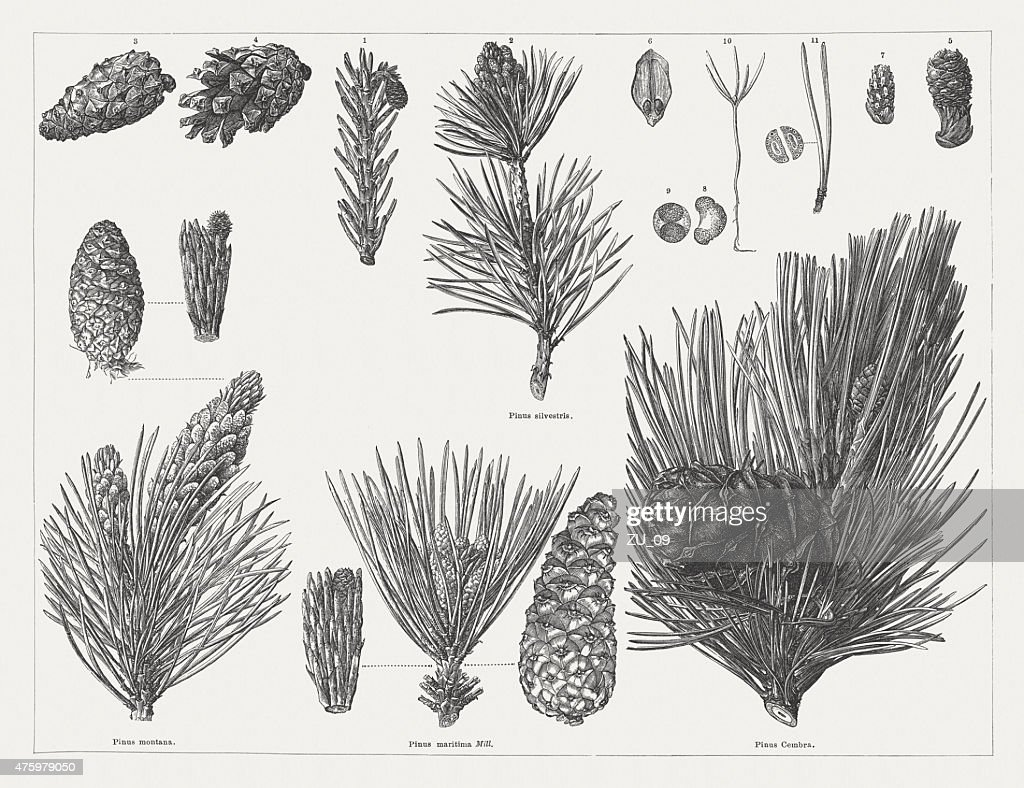 Various pine with cones, twigs and seeds, publ. 1876 : stock illustration