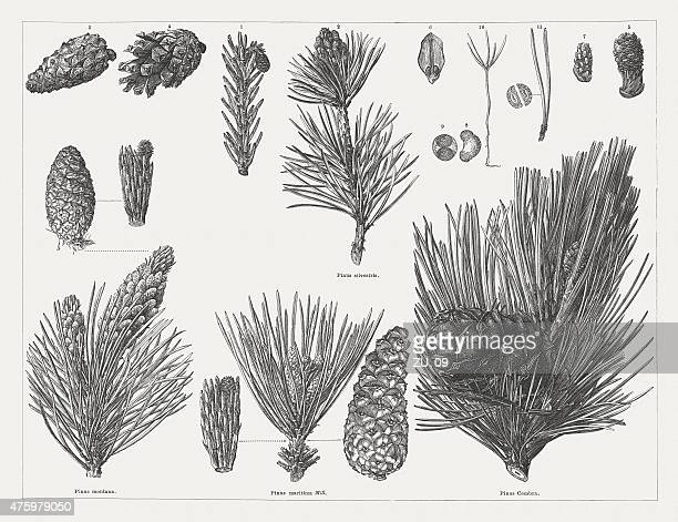 Various pine with cones, twigs and seeds, publ. 1876